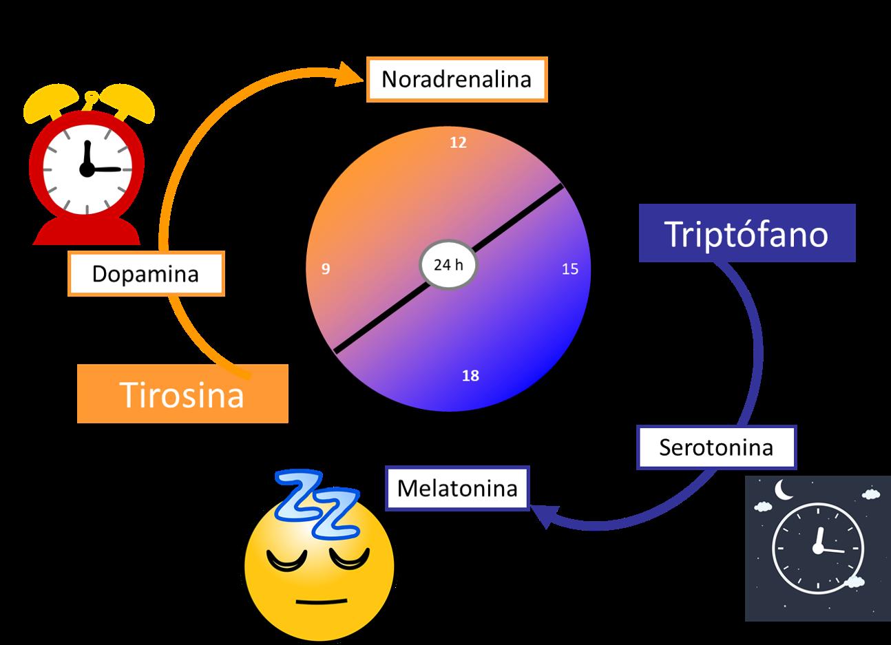 acción de las hormonas en el cerebro